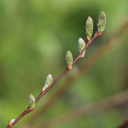 Ohrweide / Salbeiweide - Salix aurita