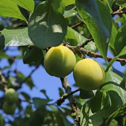 Pflaume 'Oullins Reneklode' / Eierpflaume - Prunus 'Oullins Reneklode' / Eierpflaume