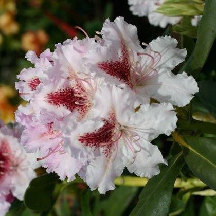 Rhododendron 'Progres' - Rhododendron Hybride 'Progres'
