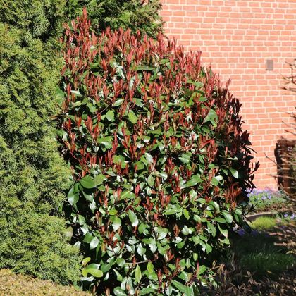 Rote Glanzmispel 'Red Robin' - Photinia fraseri 'Red Robin'