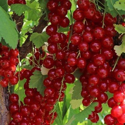 Rote Johannisbeere 'Rovada' - Ribes rubrum 'Rovada'