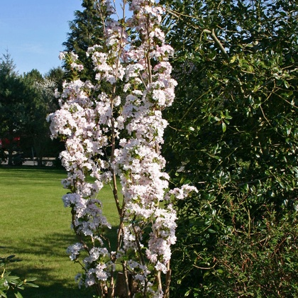 Säulenkirsche 'Amanogawa' - Prunus serrulata 'Amanogawa'