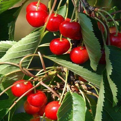 Sauerkirsche 'Schattenmorelle' / 'Lange Lotkirsche' - Prunus 'Schattenmorelle' / 'Lange Lotkirsche'