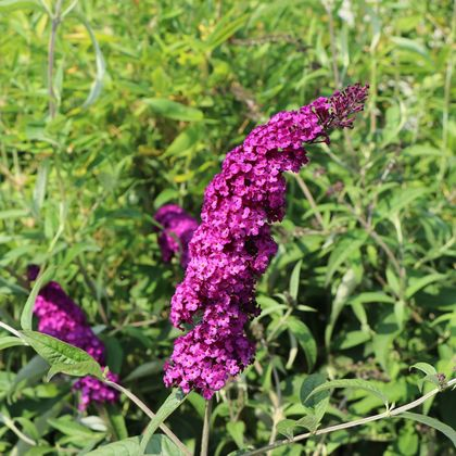 Sommerflieder / Schmetterlingsstrauch 'Royal Red' - Buddleja davidii 'Royal Red'