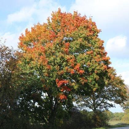 Spitzahorn - Acer platanoides