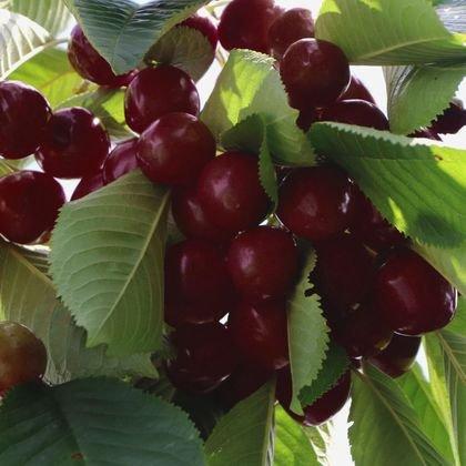Süßkirsche 'Kordia' - Prunus 'Kordia'