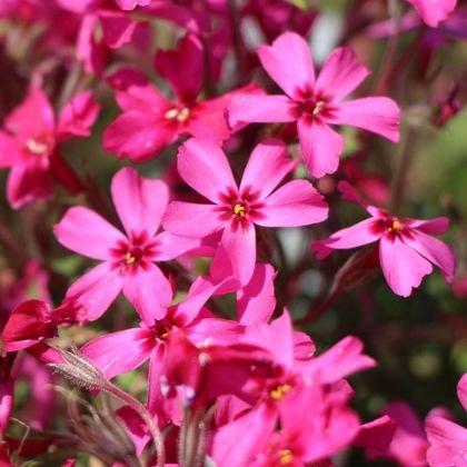 Teppich-Flammenblume 'Scarlet Flame' - Phlox subulata 'Scarlet Flame'