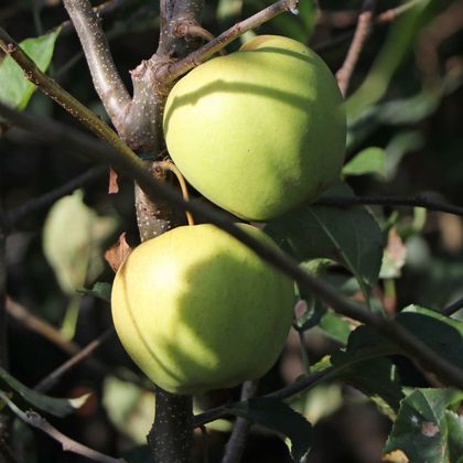 Winterapfel 'Golden Delicious' - Malus 'Golden Delicious'