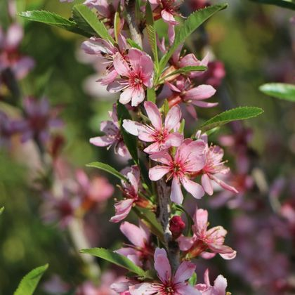 Zwergmandel 'Fire Hill' - Prunus tenella 'Fire Hill'